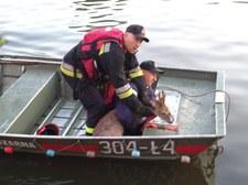 Kraków: Strażacy uratowali tonącego jelonka