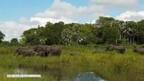 Krokodyl zaatakował słonia przy wodopoju w Malwi