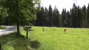 Krowy kochają dźwięk akordeonu
