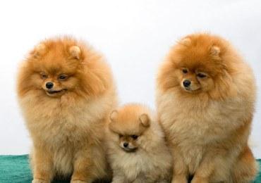 Krwiaki na psich uszach - czy wymagają chirurgicznej interwencji?