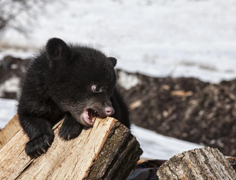 Książka o niedźwiedziach oparta jest na prawdziwych wydarzeniach /123RF/PICSEL