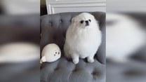 Kto kogo przedrzeźnia? Pies maskotkę, czy maskotka psa?