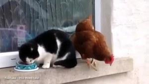 Kura kradnie jedzenie kotu!