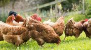 Kurczak - fakty i mity