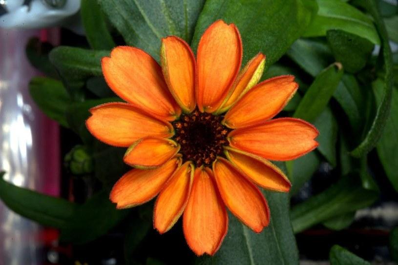Kwiat cynii, który zakwitł na ISS /NASA