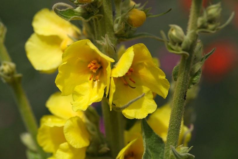 Kwiat dziewanny chroni górne drogi oddechowe /123RF/PICSEL