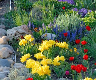 Kwiaty cebulowe na skalniaku