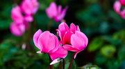 Kwiaty, które kwitną jesienią