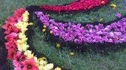 Kwietne dywany z 300 tys. tulipanów