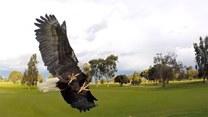 Lądowanie orła na ramieniu mężczyzny w slow motion. Imponujące?