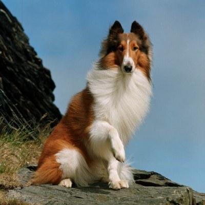 Lassie - najpopularniejszy pies świata /materiały prasowe