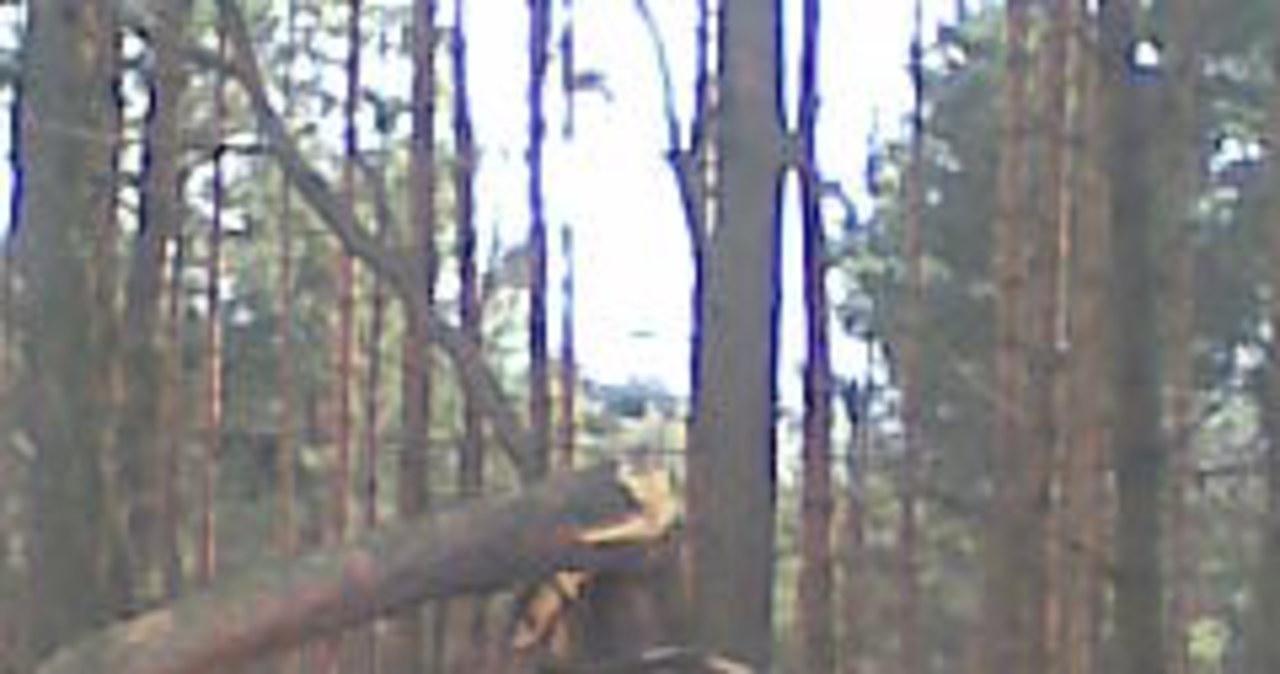 Lasy w gminie Niegowa przedstawiają smutny obraz