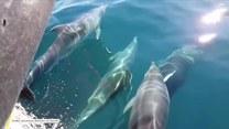 Lazur wody i gromada uroczych delfinów. Niezwykłe spotkanie