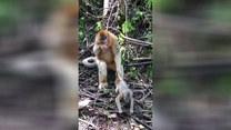 Lekcja wychowawcza małp. Musicie to zobaczyć