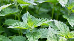 Leki z wiosennych roślin