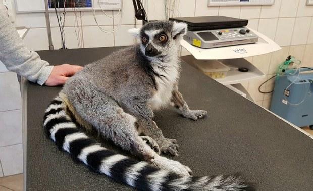 """Lemur Julian """"idzie pod nóż"""". Pacjent stracił czucie w tylnych łapach"""
