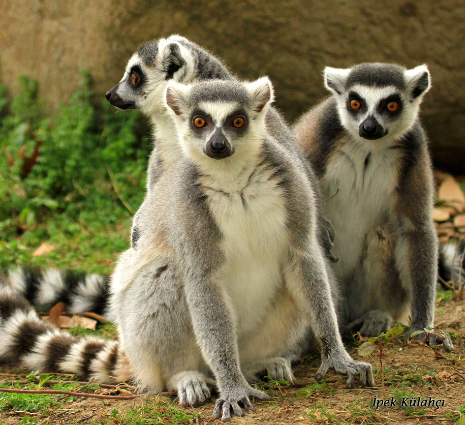 Lemury żyją w silnie zwiazanych społecznościach /Ipek G. Kulahci /Materiały prasowe
