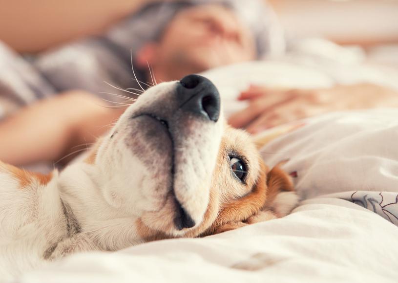 Lepiej nie pozwalać psu spać w naszym łóżku /123RF/PICSEL