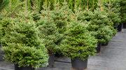 Leśnicy zachęcają do kupna naturalnych choinek