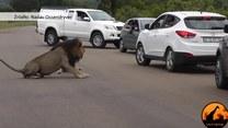 Lew ostrzega - w dżungli król jest tylko jeden