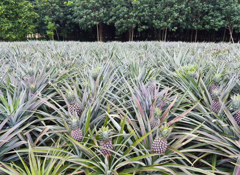 Liście ananasa - roślinna alternatywa dla rynku skór /123RF/PICSEL