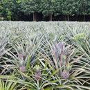 Liście ananasa - roślinna alternatywa dla rynku skór
