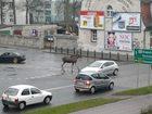 Łosie spacerowały po centrum Myśliborza