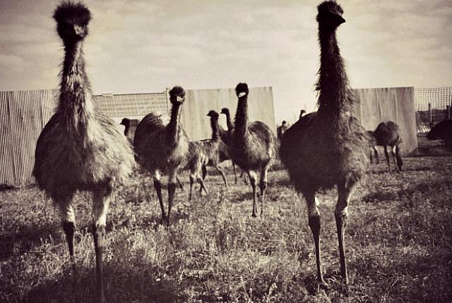 Losy wojny ludzi z emu od samego początku były przesądzone... /materiały prasowe