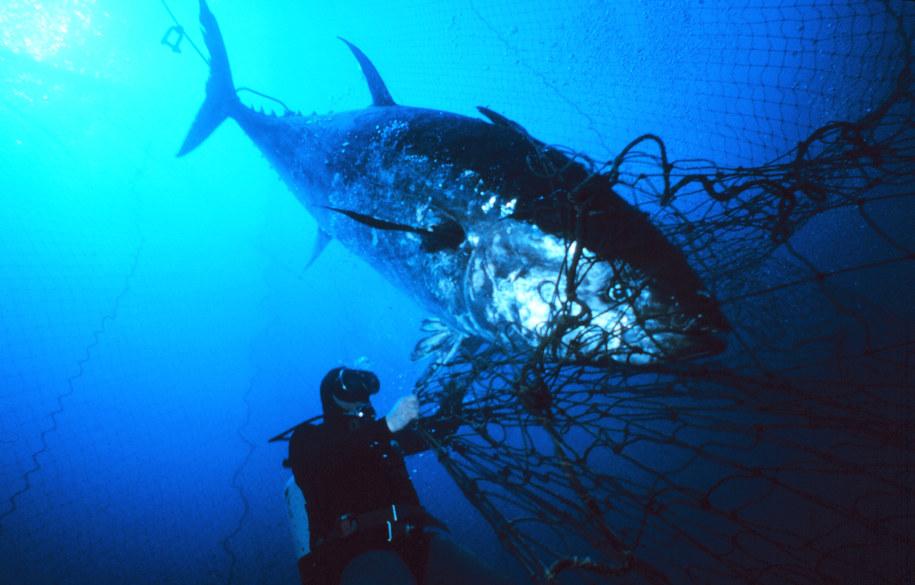 Lubisz tuńczyka? Uważaj na tego z Japonii.