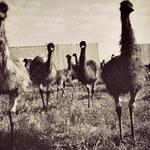 Ludzie kontra emu - na tej wojnie to żołnierze złożyli broń