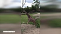 Ludzie w zoo byli świadkami niecodziennego zdarzenia