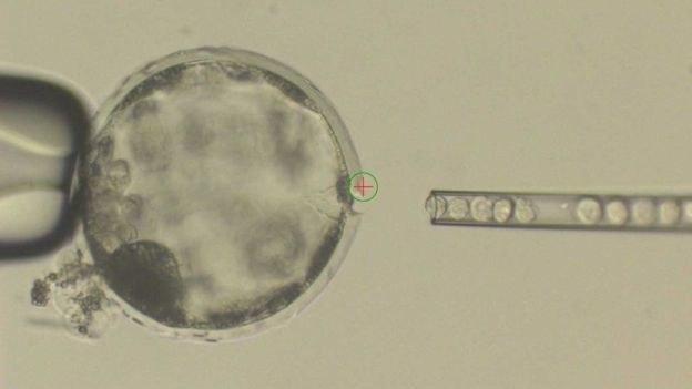 Ludzkie komórki macierzyste wprowadzane do świńskiego embrionu /fot. Juan Carlos Izpisua Belmonte /materiały prasowe