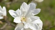 Lukka - magnolie, Puccini i jedwab
