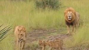 Lwiątka chcą być jak tata