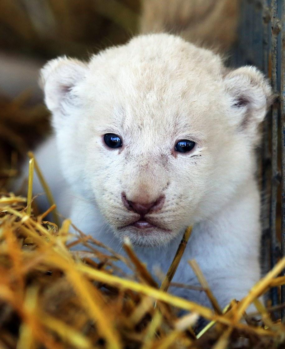 Lwiątko na wycieczce po własnym kojcu /Jens Wolf  /PAP/EPA