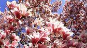 Magnolia - na początek wiosny