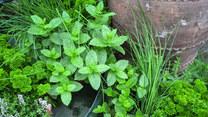 Majowe zioła z lasu i łąki – jak je wykorzystać?
