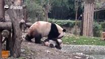 Mała panda nie chce się kąpać. Mama nie daje za wygraną