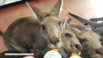 Małe kangurki piją razem mleko