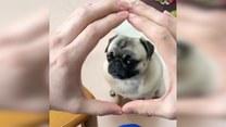 Mało który pies zna taką sztuczkę