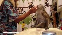 Małpa szykuje się na wieczorne wyjście