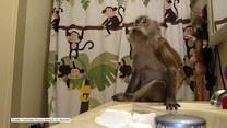 Małpka szykuje się na wieczorne wyjścia