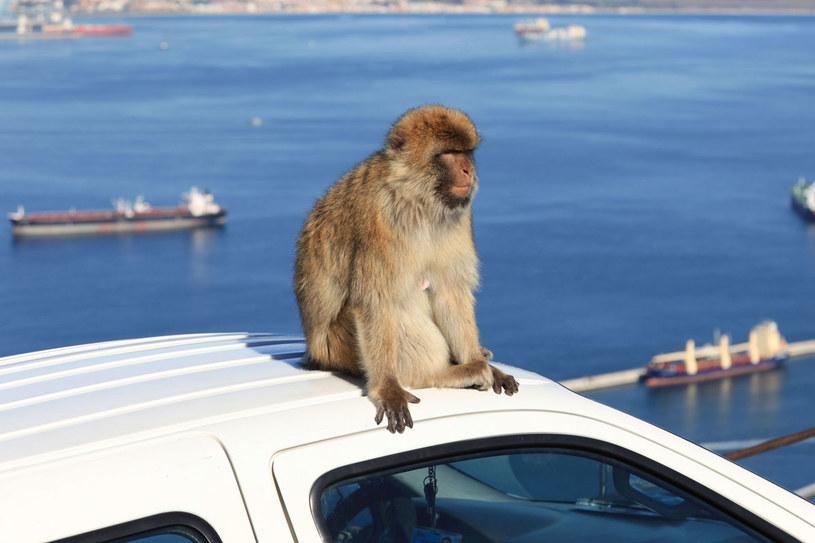 Małpy to jeden z symboli Gibraltaru /©123RF/PICSEL