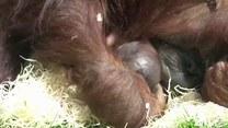 Malutka małpka podbiła ludzkie serca
