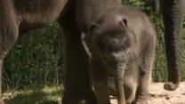 Malutka słonica po raz pierwszy na wybiegu