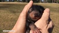 Malutki diabeł tasmański kocha pieszczoty