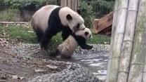 Mama-panda zaciągnęła małego miśka do kąpieli
