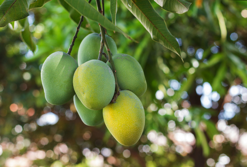 Mango pomaga przy kłopotach jelitowych /©123RF/PICSEL
