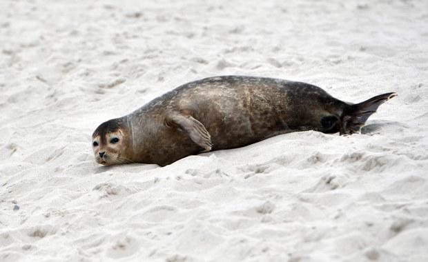 Martwa foka w Kołobrzegu. Zwierzę znaleziono przy falochronie