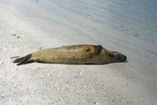 Martwe foki na nadbałtyckich plażach